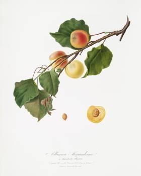 Apricot (Armeniaca Alexandrina) from Pomona Italiana (1817 - 1839) by Giorgio Gallesio (1772-1839). Original from The New York Public Library.  #398339