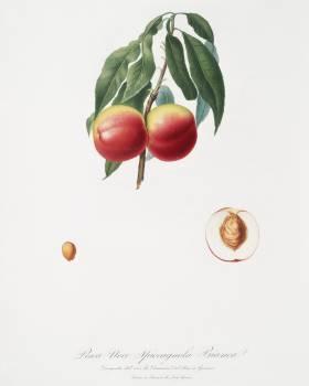 Peach (Persica psillidermis) from Pomona Italiana (1817 - 1839) by Giorgio Gallesio (1772-1839). Original from The New York Public Library.  Free Photo