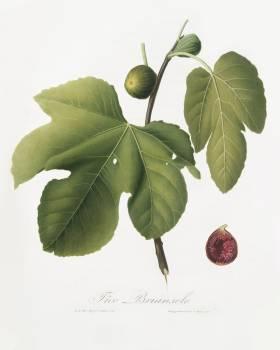 Briansole figs (Ficus carica sativa) from Pomona Italiana (1817 - 1839) by Giorgio Gallesio (1772-1839). Original from The New York Public Library.  #398342