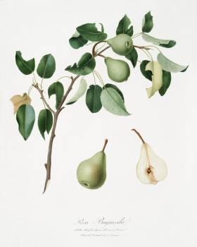 Pear (Pyrus mendax) from Pomona Italiana (1817 - 1839) by Giorgio Gallesio (1772-1839). Original from The New York Public Library.  #398353