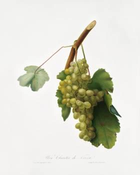 Grape vine (Vitis vinifera Niciensis) from Pomona Italiana (1817 - 1839) by Giorgio Gallesio (1772-1839). Original from The New York Public Library.  #398356