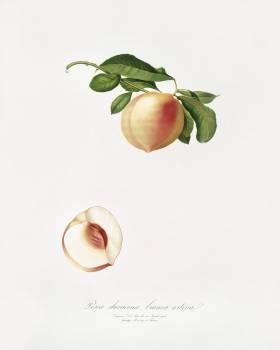 Peach (Persica julodermis) from Pomona Italiana (1817 - 1839) by Giorgio Gallesio (1772-1839). Original from The New York Public Library.  #398359