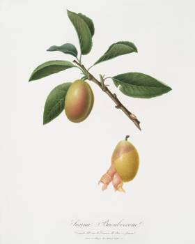 Armenian plum (Prunus armeniaca) from Pomona Italiana (1817 - 1839) by Giorgio Gallesio (1772-1839). Original from The New York Public Library.  #398363