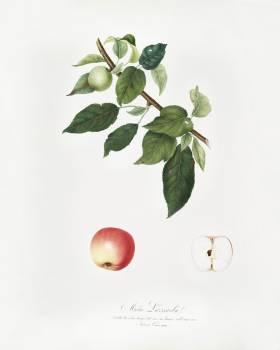 Apple (Malus pumila) from Pomona Italiana (1817 - 1839) by Giorgio Gallesio (1772-1839). Original from The New York Public Library.  #398365