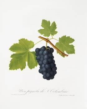 San Colombano grapes (Vitis vinifera Sancti Colombani) from Pomona Italiana (1817 - 1839) by Giorgio Gallesio (1772-1839). Original from The New York Public Library.  #398368