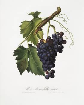Black grape (Vitis vinifera) from Pomona Italiana (1817 - 1839) by Giorgio Gallesio (1772-1839). Original from The New York Public Library.  #398369