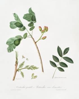 Pistachio (Pistacia vera) from Pomona Italiana (1817 - 1839) by Giorgio Gallesio (1772-1839). Original from The New York Public Library.  Free Photo