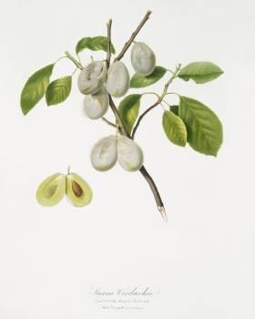 Plum (Prunus verdacchia) from Pomona Italiana (1817 - 1839) by Giorgio Gallesio (1772-1839). Original from The New York Public Library.  #398374