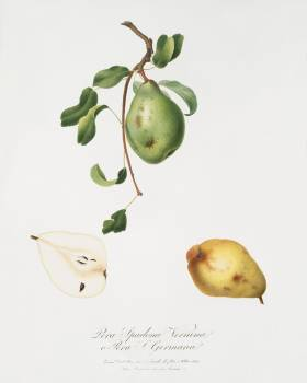 Pear (Pyrus spadonnia) from Pomona Italiana (1817 - 1839) by Giorgio Gallesio (1772-1839). Original from The New York Public Library.  #398377