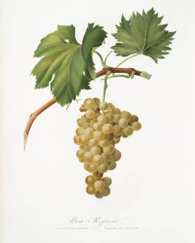 Grape vine (Vitis vinifera Niciensis) from Pomona Italiana (1817 - 1839) by Giorgio Gallesio (1772-1839). Original from The New York Public Library.  #398378