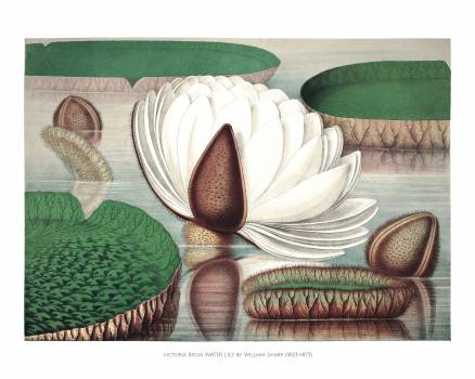 Opening flower of a gigantic water lily (Victoria Regia) by William Sharp (1803–1875). #398384