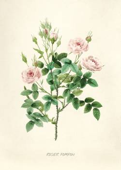 Antique plant drawn by Pierre-Joseph Redouté (1759–1840 ). Original from Biodiversity Heritage Library.  #398394