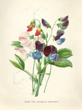Antique plant drawn by Pierre-Joseph Redouté (1759–1840 ). Original from Biodiversity Heritage Library.  #398463