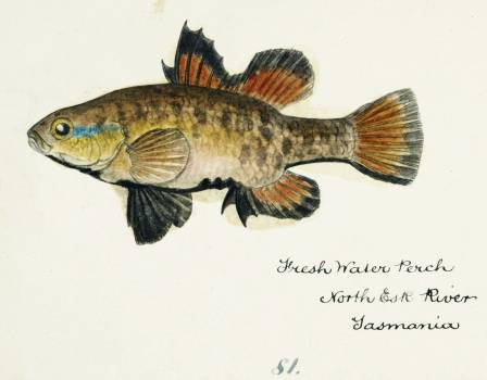 Antique fish Nannoperca australis (Tas) : Eel drawn by Fe. Clarke (1849-1899). Original from Museum of New Zealand.  #398495
