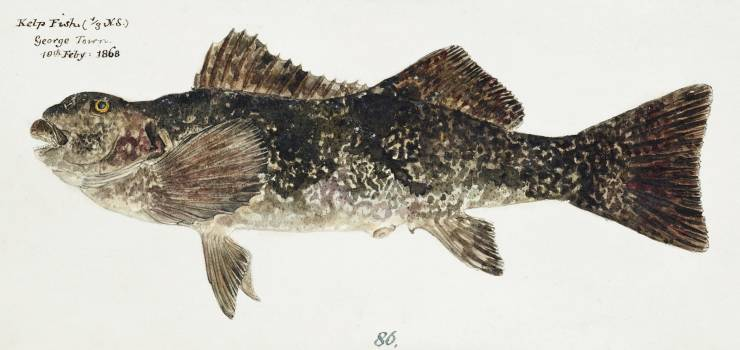 Antique fish aplodactylus arctidens marblefish keke drawn by Fe. Clarke (1849-1899). Original from Museum of New Zealand.  #398511