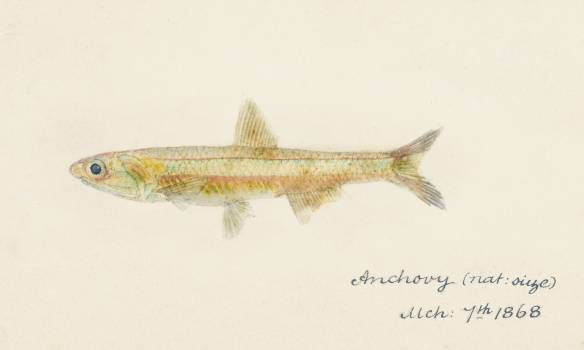 Antique fish engraulis australis anchovy drawn by Fe. Clarke (1849-1899). Original from Museum of New Zealand.  Free Photo