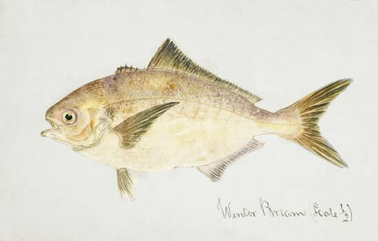 Antique fish seriolella punctata silver warehou drawn by Fe. Clarke (1849-1899). Original from Museum of New Zealand.  #398520