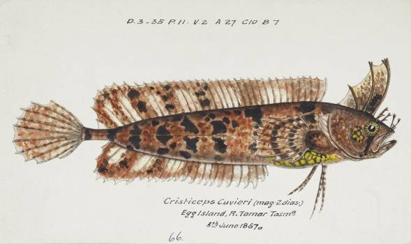 Antique fish possibly cristiceps australis weedfish drawn by Fe. Clarke (1849-1899). Original from Museum of New Zealand.  #398527