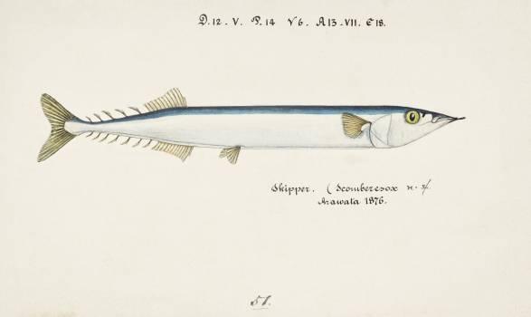 Antique fish Scomberesox Saurus drawn by Fe. Clarke (1849-1899). Original from Museum of New Zealand.  #398561