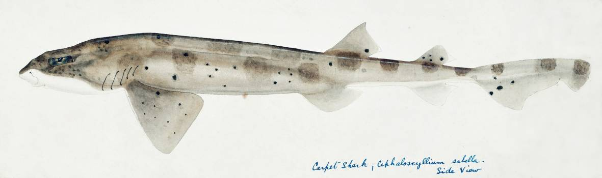 Antique fish Carpet Shark drawn by Fe. Clarke (1849-1899). Original from Museum of New Zealand.  Free Photo