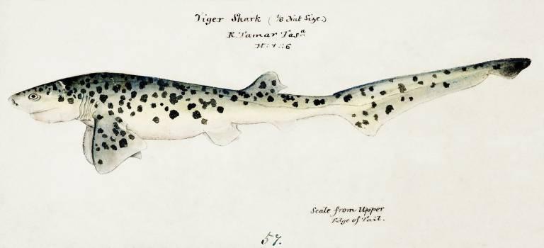 Antique fish Notorynchus cepedianus (Tas) : Broad seven-gill shark drawn by Fe. Clarke(1849-1899). Original from Museum of New Zealand.  #398573
