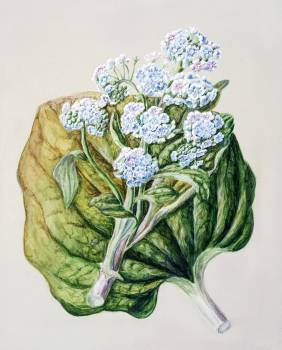 Antique plant Myosotidium hortensia drawn by Sarah Featon (1848–1927). Original from Museum of New Zealand.  #398586