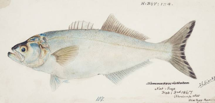 Antique fish possibly pomatomus saltatrix tailor drawn by Fe. Clarke (1849-1899). Original from Museum of New Zealand.  #398593