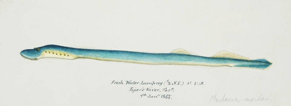 Antique fish geotria australis fresh water lamprey drawn by Fe. Clarke (1849-1899). Original from Museum of New Zealand.  Free Photo
