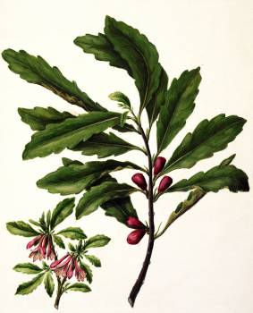Antique plant New Zealand toropapa drawn by Sarah Featon (1848–1927). Original from Museum of New Zealand.  #398608