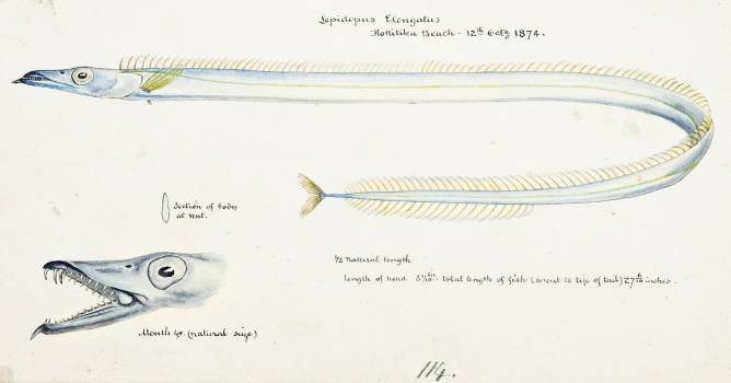 Antique fish Benthodesmus Elongatus drawn by Fe. Clarke (1849-1899). Original from Museum of New Zealand.  #398632