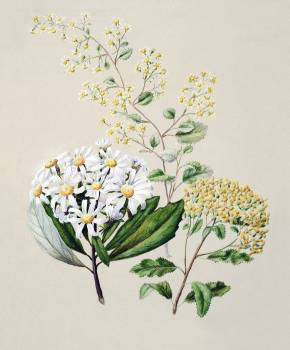 Antique plant Senecio (3 species) drawn by Sarah Featon (1848–1927). Original from Museum of New Zealand.  #398682