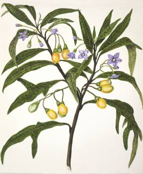 Antique plant Poroporo drawn by Sarah Featon(1848 - 1927). Original from Museum of New Zealand.  #398683
