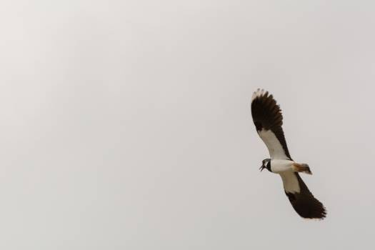 Flying northern lapwing - free stock photo #398714