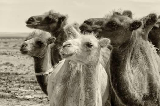 Bactrian camels in Gobi desert - free stock photo Free Photo