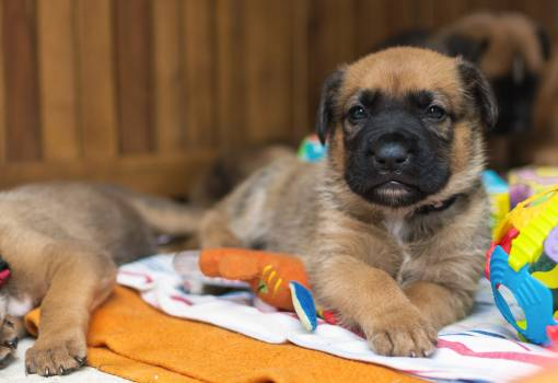 Puppy of a German boxer and a German shepherd - free stock photo #398799