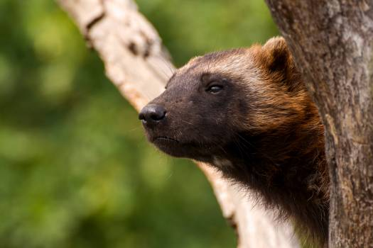 Wolverine - free stock photo #398851