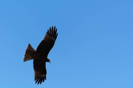 Silhouette of the eagle on the blue sky - free stock photo #398878