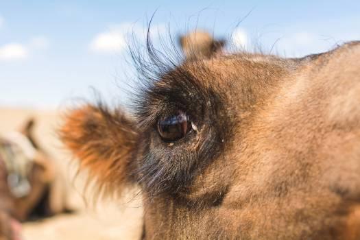 Camel Eye - free stock photo #398881