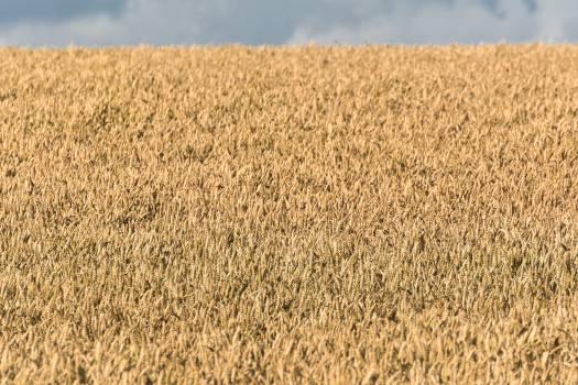 Grain field - free stock photo #398890