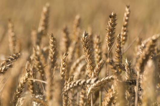 Grain field - free stock photo #398895
