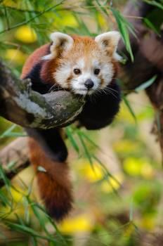 Red Panda #39892
