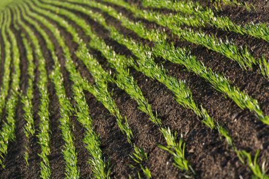 Grass Rows On Spring Field - free stock photo #398932