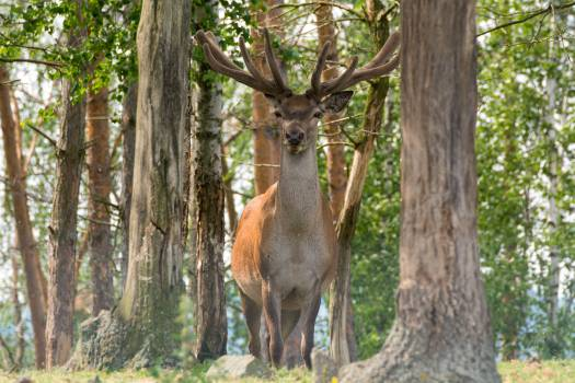Deer - free stock photo Free Photo