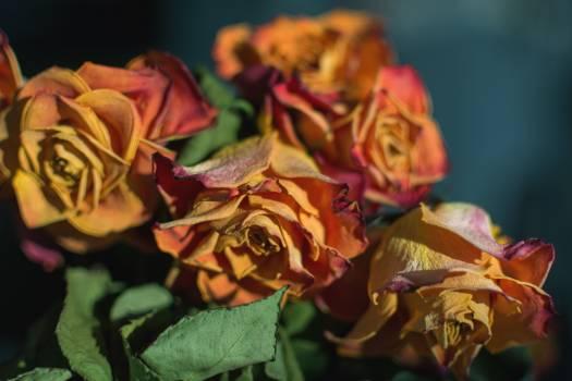 Dry Roses - free stock photo #399030