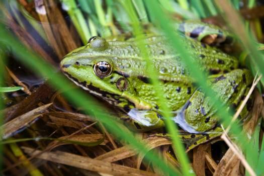 Edible frog - free stock photo #399257