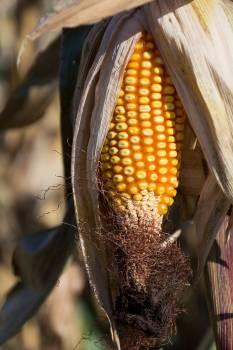 Corn Cob in the Field - free stock photo Free Photo
