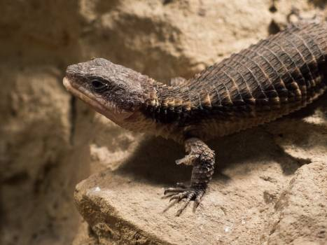 Tropical girdled lizard - free stock photo #399330