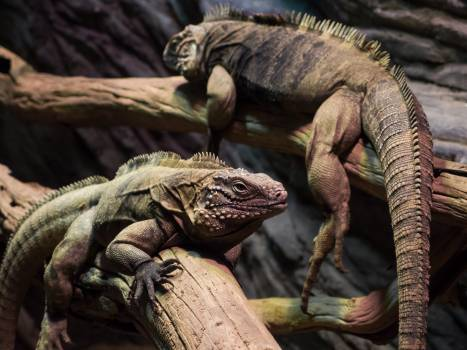 Iguanas - free stock photo #399349