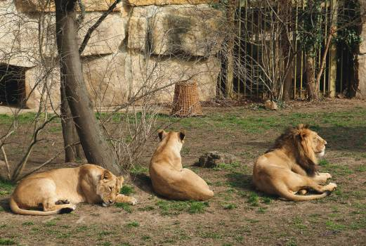 Lions In Zoo - free stock photo #399357