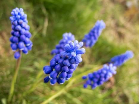 Grape Hyacinth - free stock photo #399366